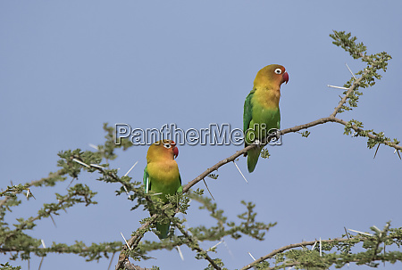 africa tanzania serengeti fischers lovebirds agapornis