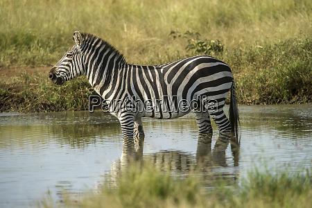 africa tanzania zebra