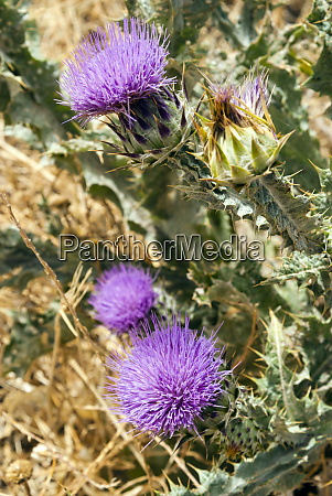 flower of wild artichoke tunisia north