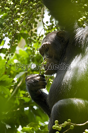 africa uganda kibale national park ngogo