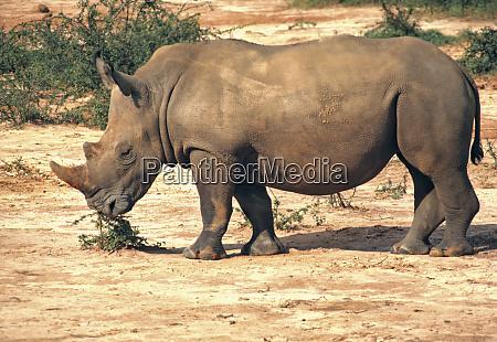 africa uganda murchison falls np white
