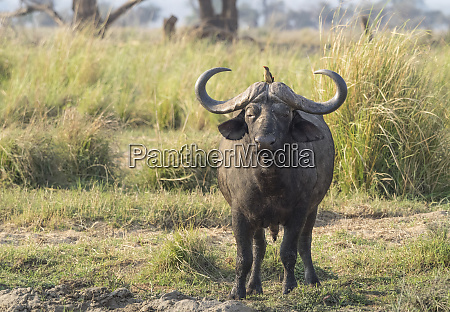 africa zambia cape buffalo male close