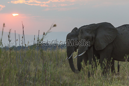africa zambia elephants in grass at