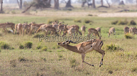 africa zambia impala runs past herd
