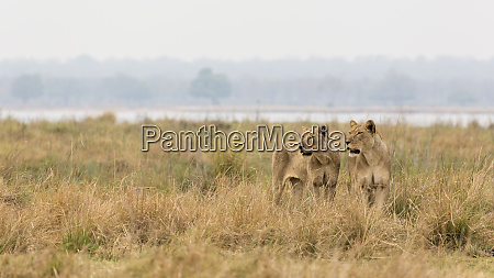 africa zambia two alert lionesses in