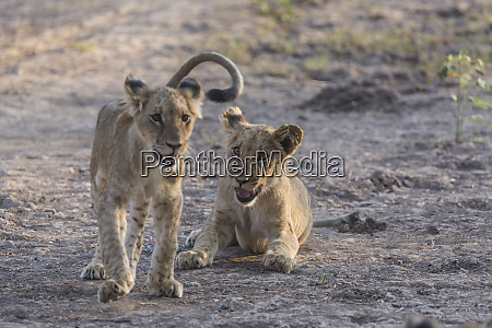 africa zambia portrait of lion cubs