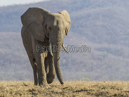 africa zambia lone elephant walking credit