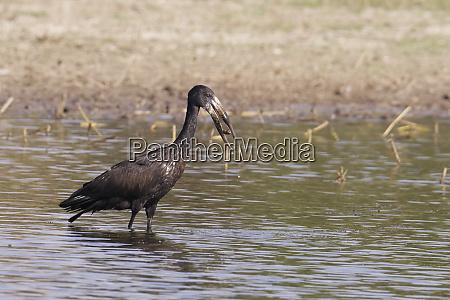 open billed stork anatomus lamelligerus with