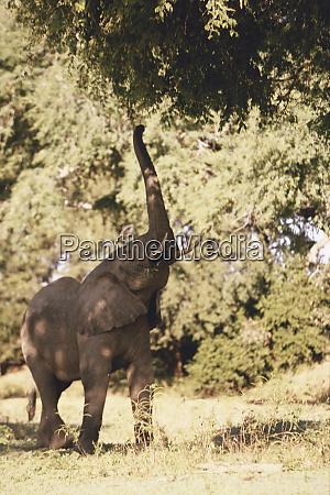zimbabwe african elephant mana pools national