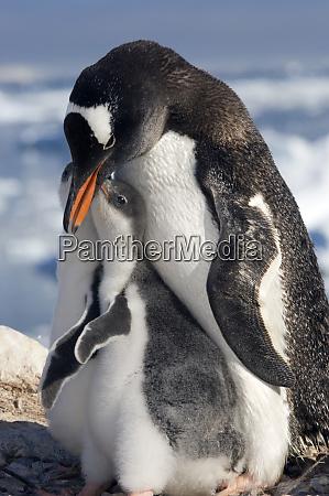 gentoo parent and chicks
