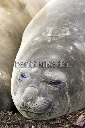 southern elephant seals on beach in