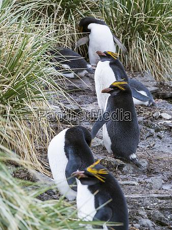 macaroni penguin eudyptes chrysolophus standing in