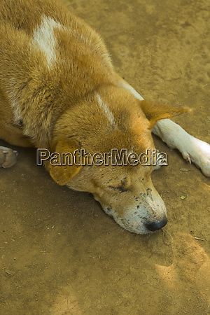 myanmar mandalay inwa local dogs rest