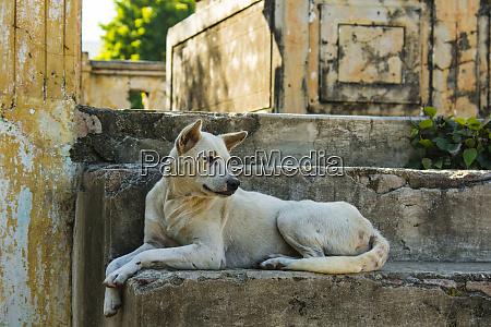 myanmar mandalay mingun local dog rests