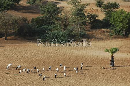 myanmar bagan group of goats browsing