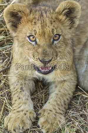 lion cub okavango delta botswana