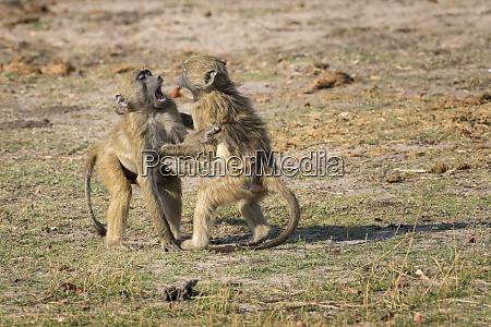 africa botswana chobe national park young