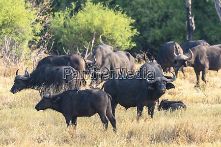 botswana okavango delta khwai concession herd