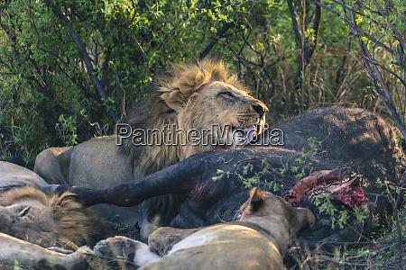 botswana chobe national park savuti pride