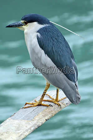 a black crowned night heron ncyticorax