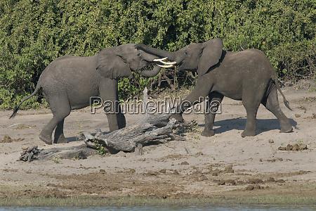 chobe river botswana africa two african