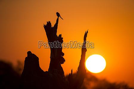 africa botswana moremi game reserve silhouette