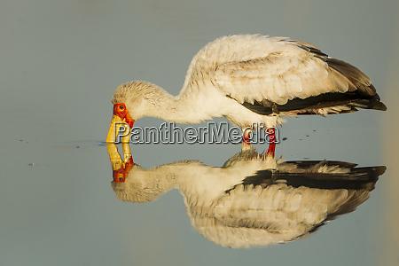 africa botswana moremi game reserve yellow