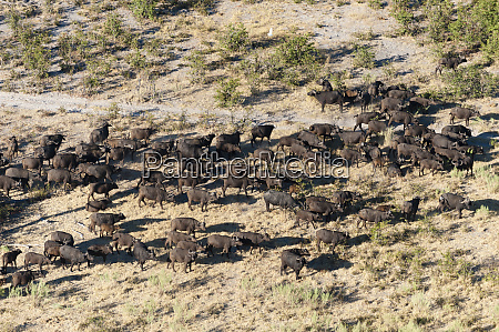 aerial view of african buffalos syncerus