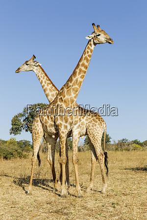 africa botswana chobe national park giraffes