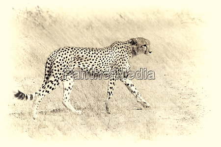 graceful cheetah artistic version walking in