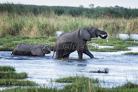 female elephant and baby crossing okavango