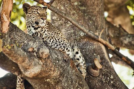 leopard relaxing in tree in botswana
