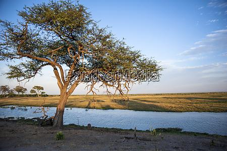 lone tree along okavango delta river