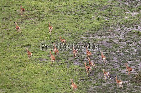 aerial view of impala herd aepyceros