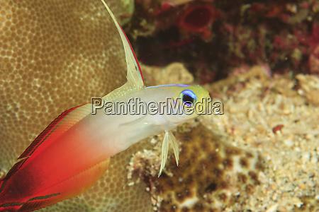 fire dartfish nemateleotris magnifica banda sea
