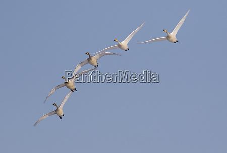 whooper swans wintering in hokkaido japan