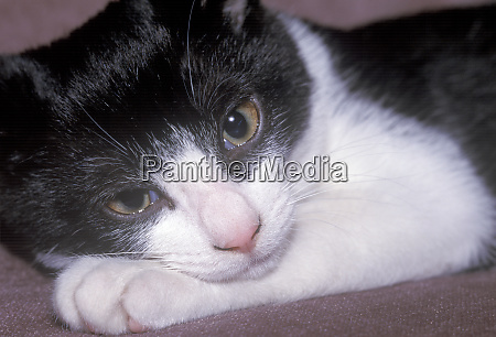 domestic cat relaxing on sofa