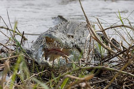 crocodile venting his teeth lake chamo