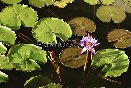 sri lanka dambulla water lily nymphaeaceae