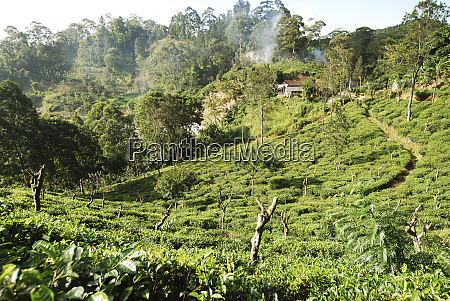 sri lanka ella tea plantation