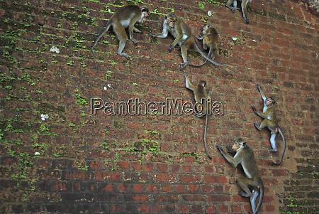 sri lanka sigiriya monkeys climbing temple