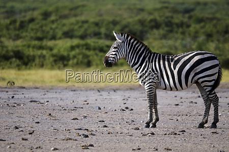 kenya amboseli national park lonely zebra