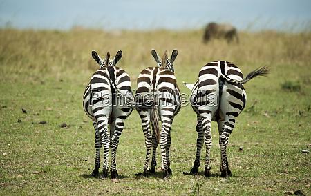 kenya masai mara national reserve rear