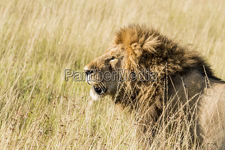 africa kenya maasai mara national reserve