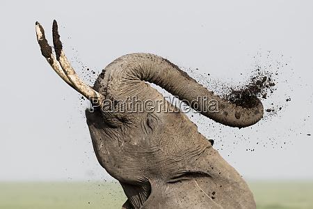 africa kenya amboseli national park elephant