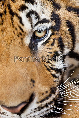 portrait indochinese tiger or corbetts tiger