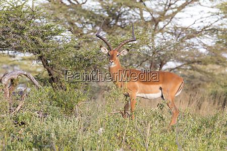 africa kenya samburu national reserve impala