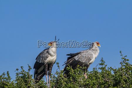 africa kenya masai mara secretary birds