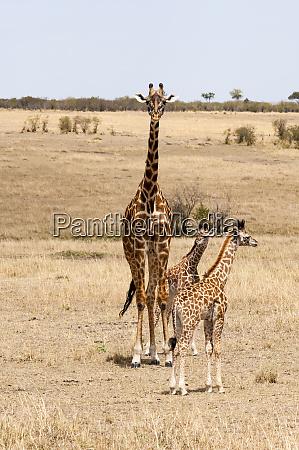 kenya giraffe mother two babies