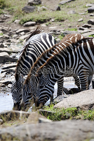 africa kenya maasai mara zebras drinking